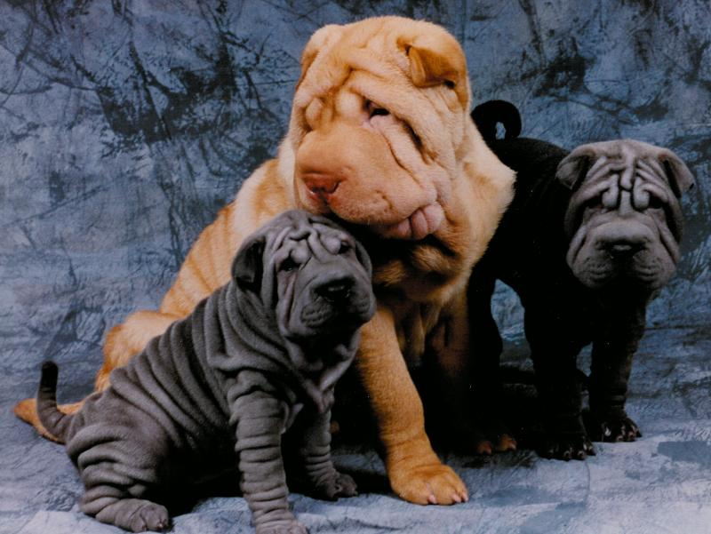 Blue Shar-Pei Puppies, Adult Cream Shar-Pei